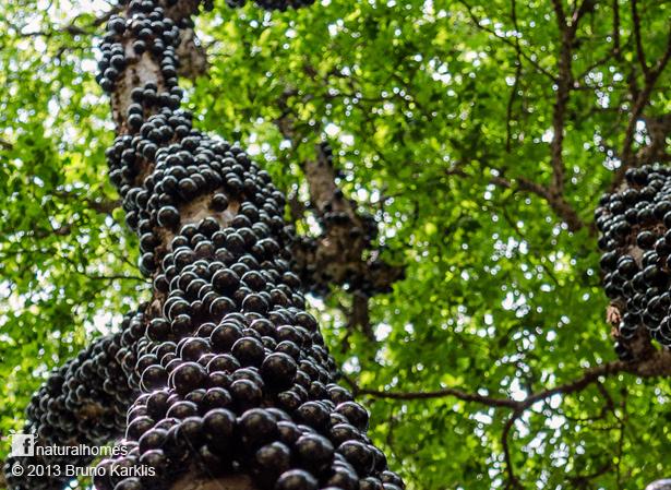 The Jabuticaba  a grape like  Jabuticaba