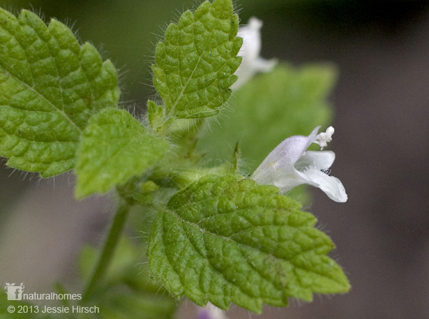 Relax and get Smart with Lemon Balm